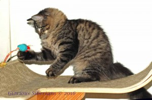 Callisto playing with toy mouse