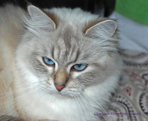 Mother SnowyPaws Dalida is a beautiful Blue Lynx point colored Siberian