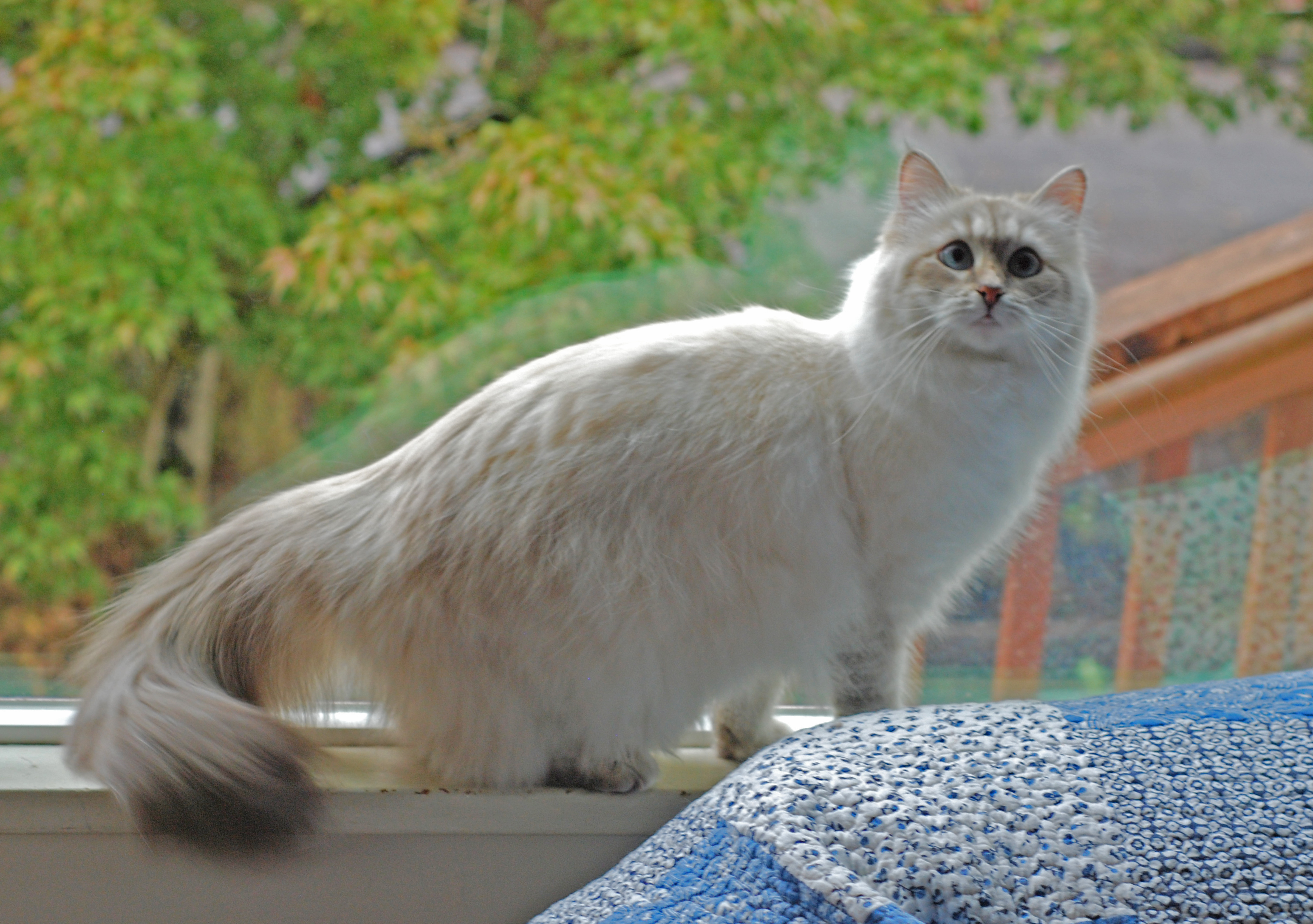 Is Dalida the Siberian you've been looking for?