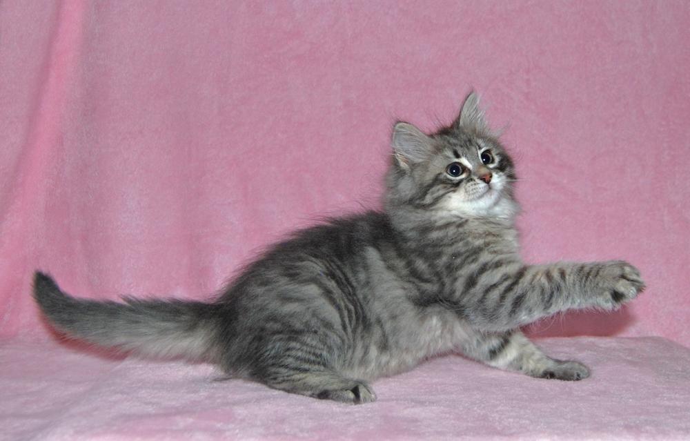 Rainier when she was a kitten