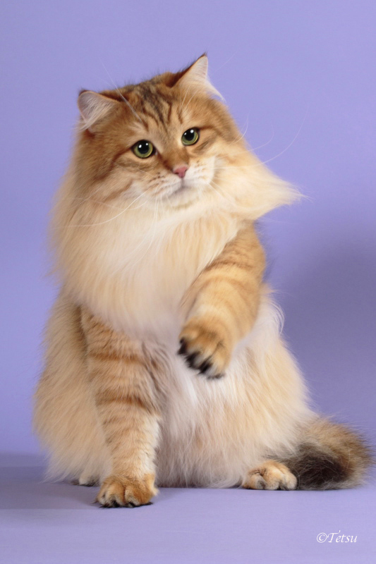 Glorious Roaring Flame is a beautiful and sweet, Golden colored Siberian.