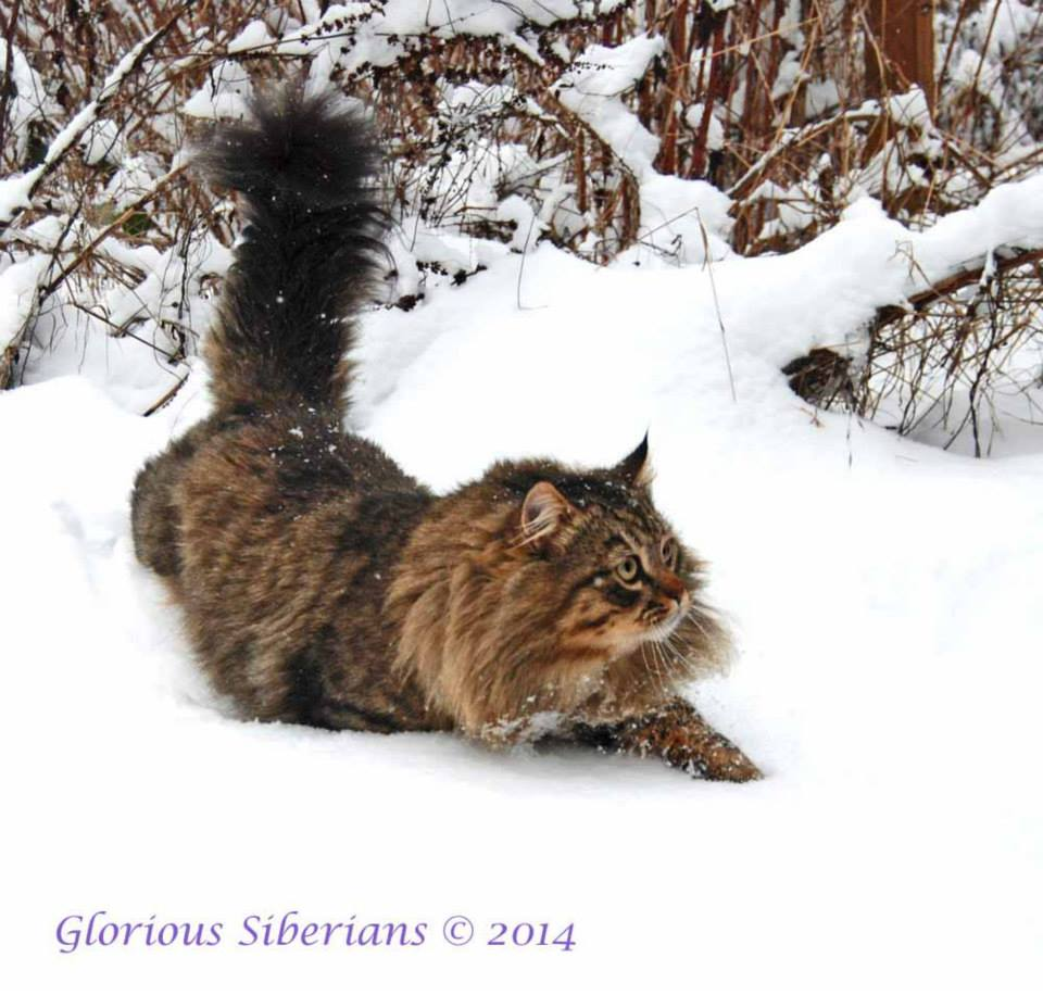 Gorgeous Poseidon demonstrating why Siberians have a triple coat.