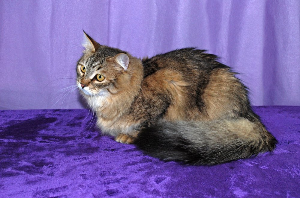 Available for Sale | Hypoallergenic Cats